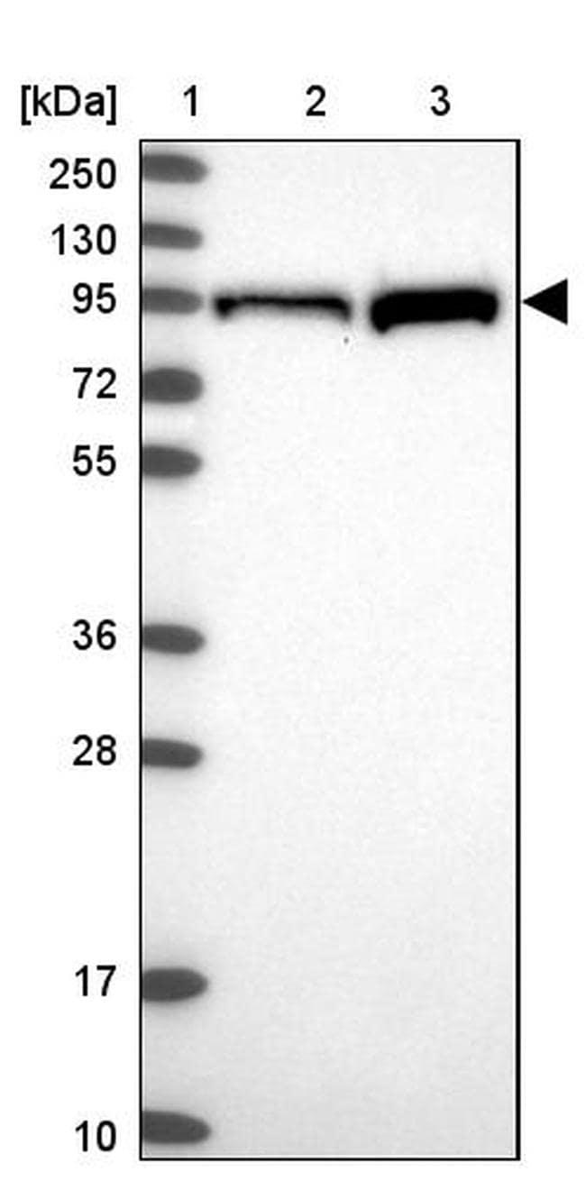 PKC epsilon Antibody in Western Blot (WB)