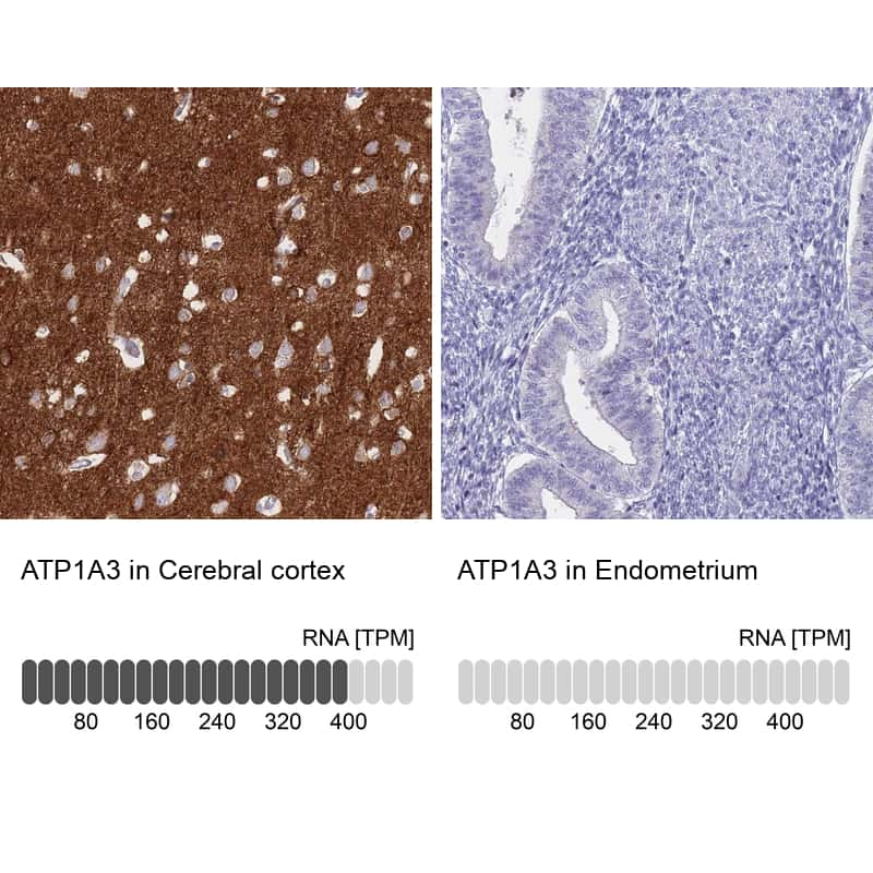 ATP1A3 Antibody in Relative expression