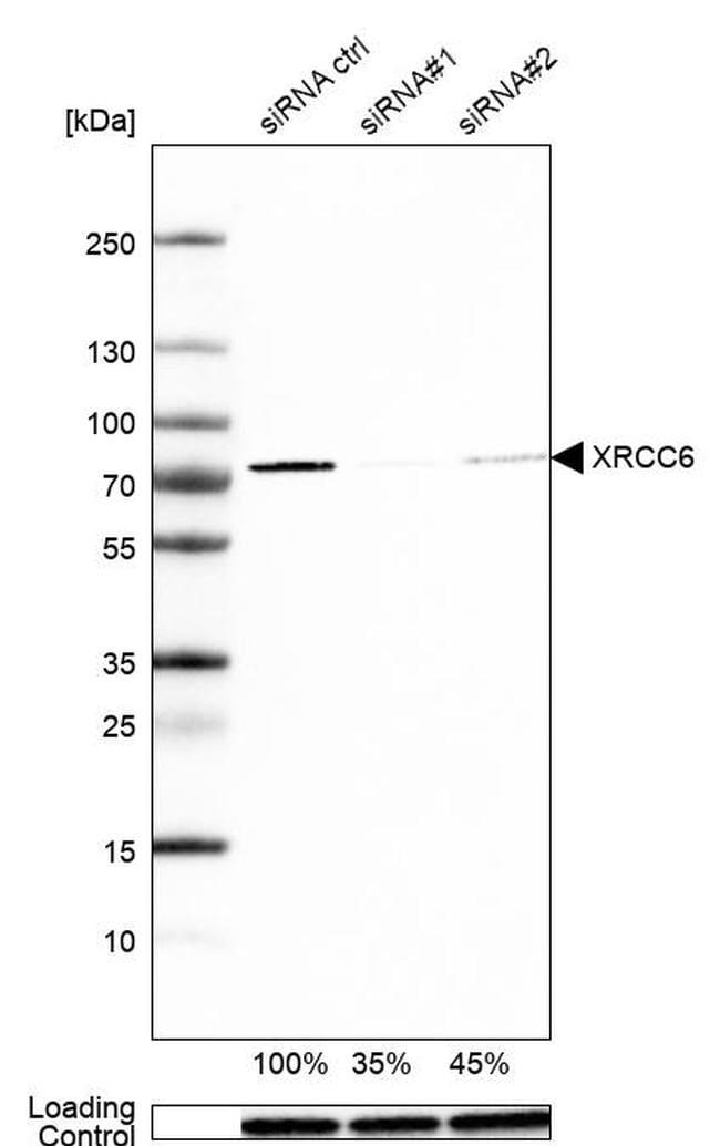 Ku70 Antibody in Western Blot (WB)
