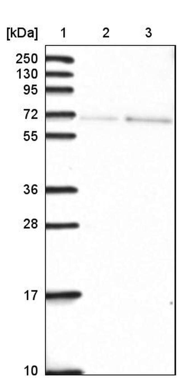 SH2D3C Antibody in Western Blot (WB)