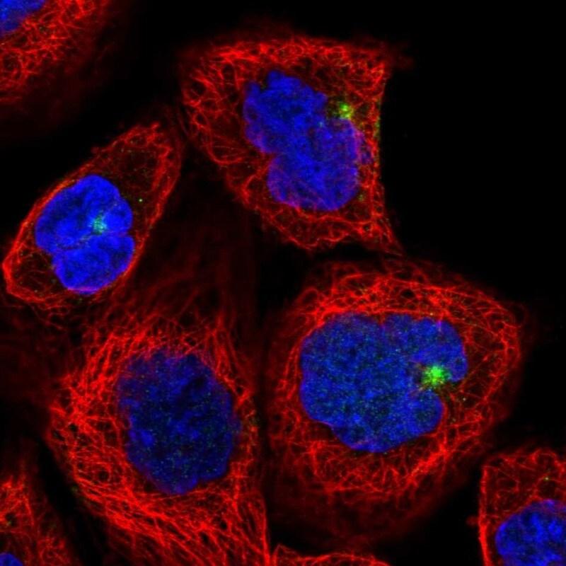 CYLD Antibody in Immunofluorescence (IF)