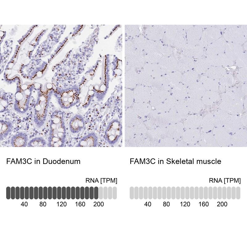 FAM3C Antibody in Relative expression