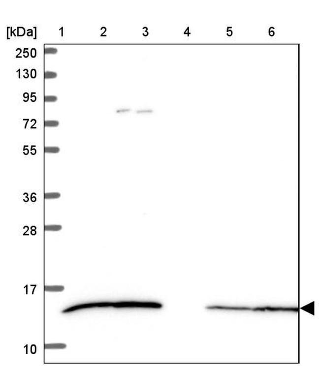 CCL21 Antibody in Western Blot (WB)