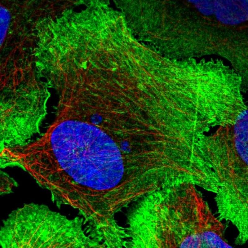 Drebrin Antibody in Immunofluorescence (IF)