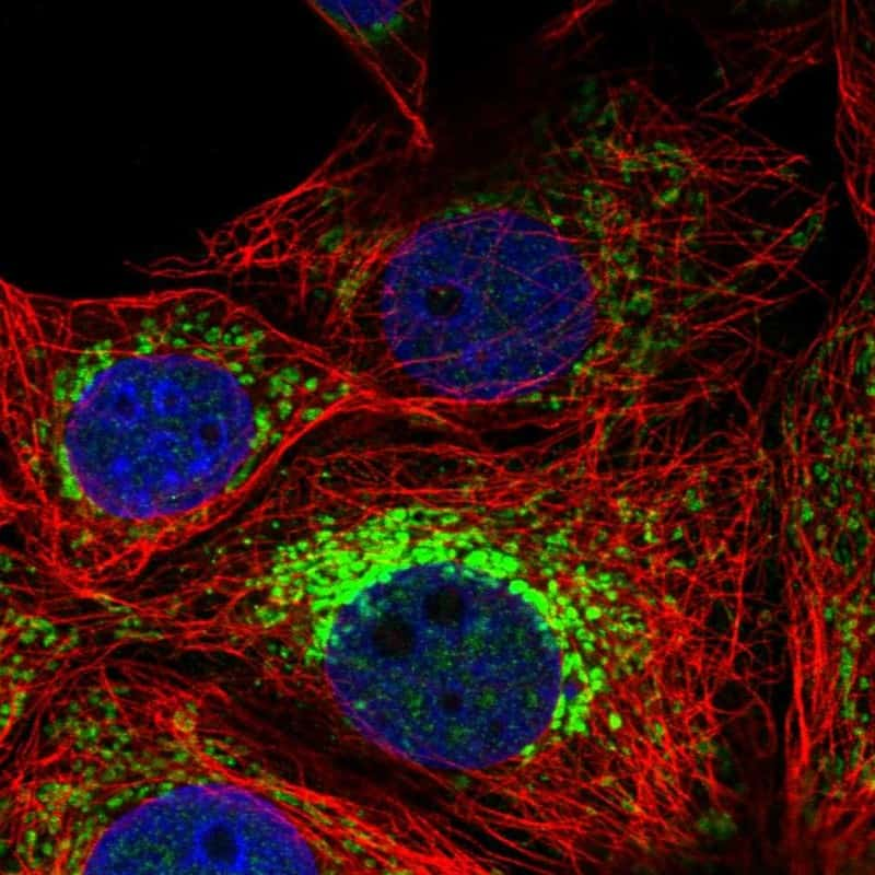 Neuroplastin Antibody in Immunofluorescence (IF)