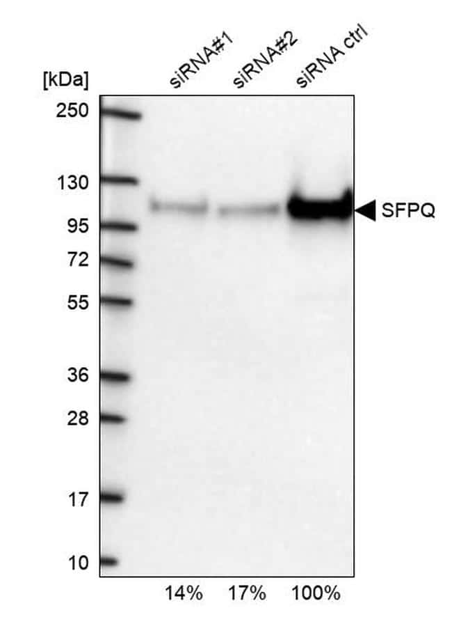 SFPQ Antibody in Western Blot (WB)