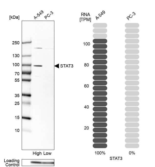 STAT3 Antibody in Relative expression
