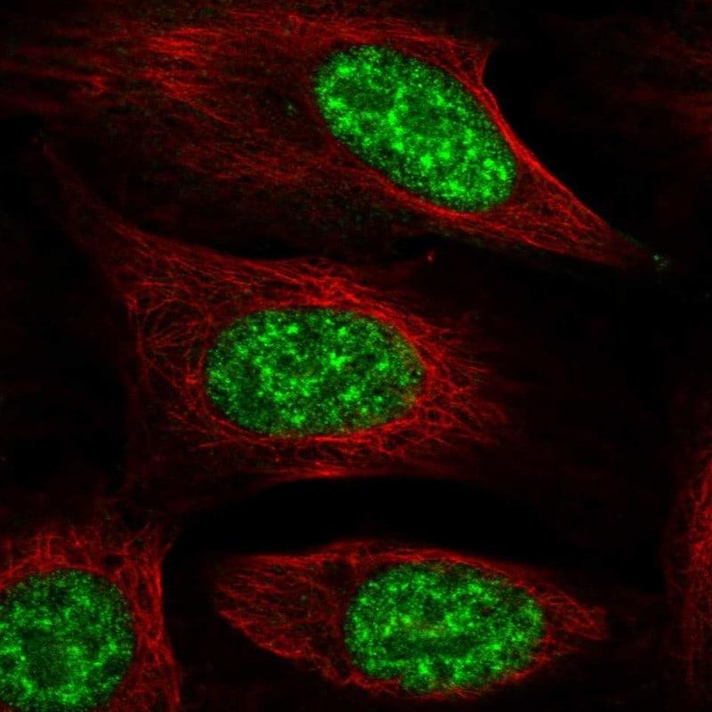 NMNAT1 Antibody in Immunofluorescence (IF)
