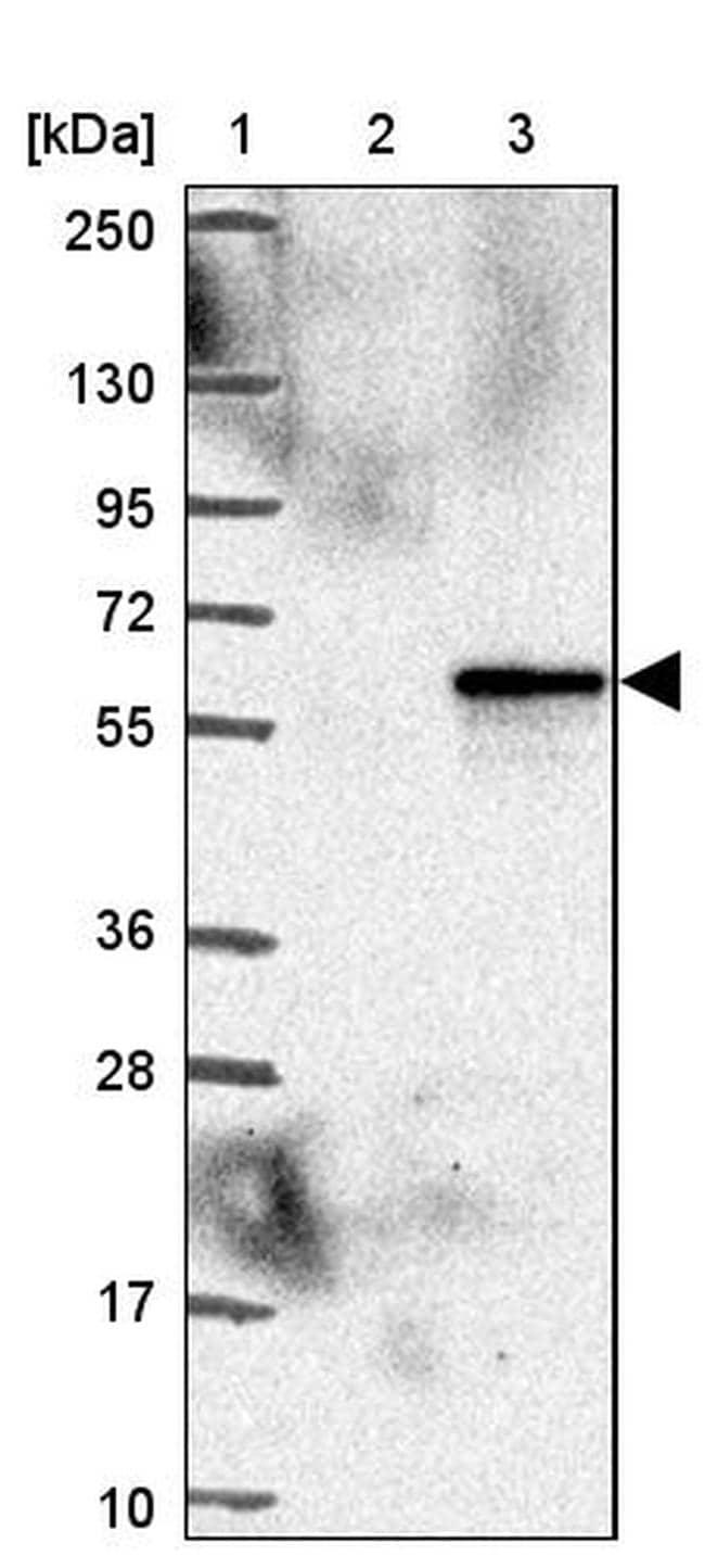 DHCR24 Antibody in Western Blot (WB)