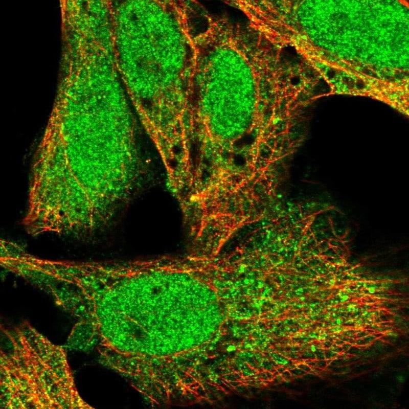 KPNA1 Antibody in Immunofluorescence (IF)