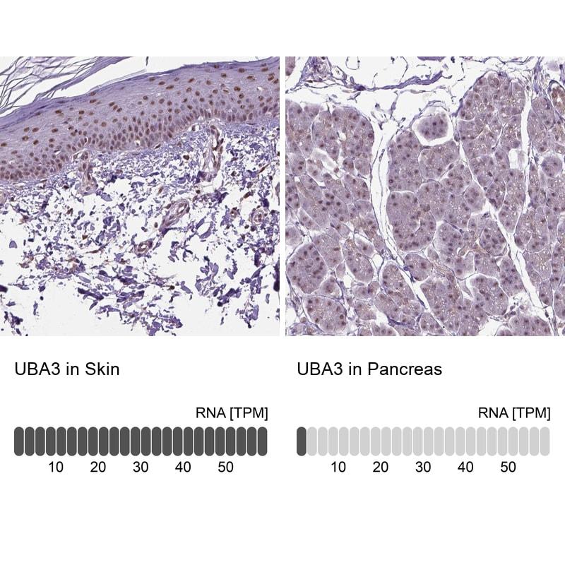 UBA3 Antibody in Immunohistochemistry (IHC)