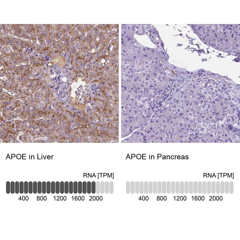 APOE Antibody