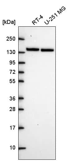 MYPT1 Antibody in Western Blot (WB)