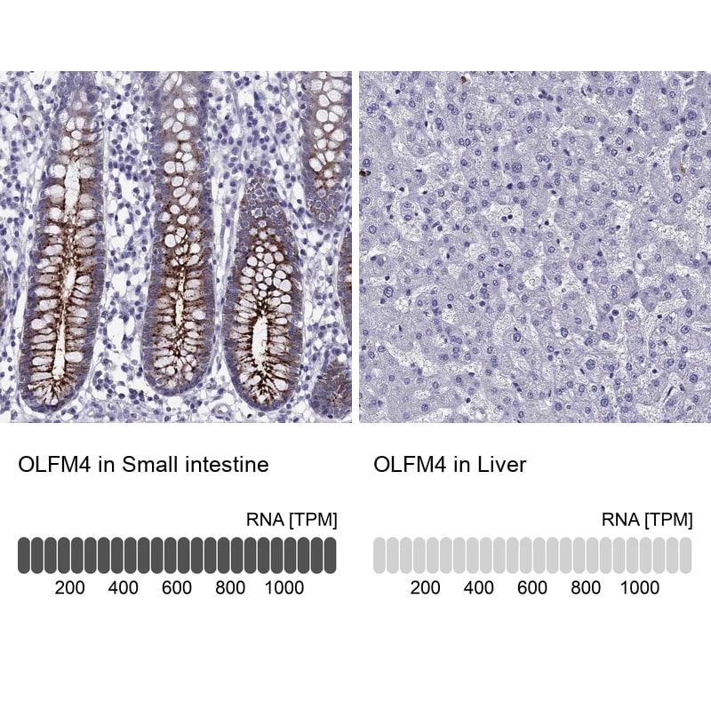 OLFM4 Antibody in Relative expression