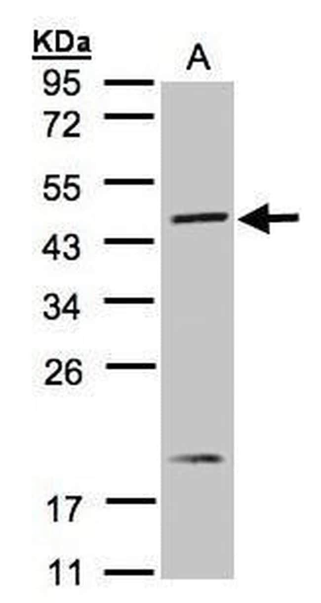 S1P1 Antibody in Western Blot (WB)