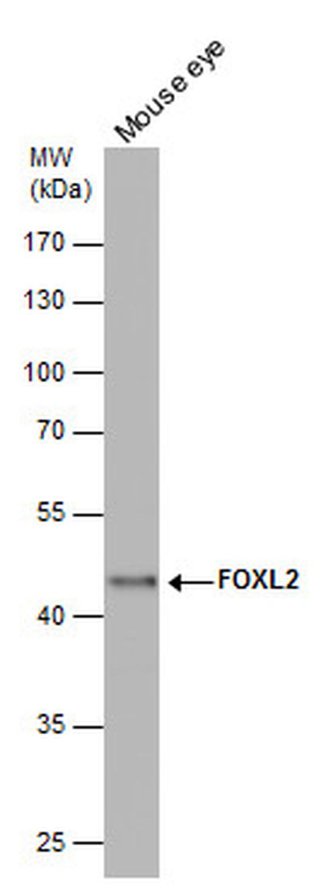 FOXL2 Antibody in Western Blot (WB)