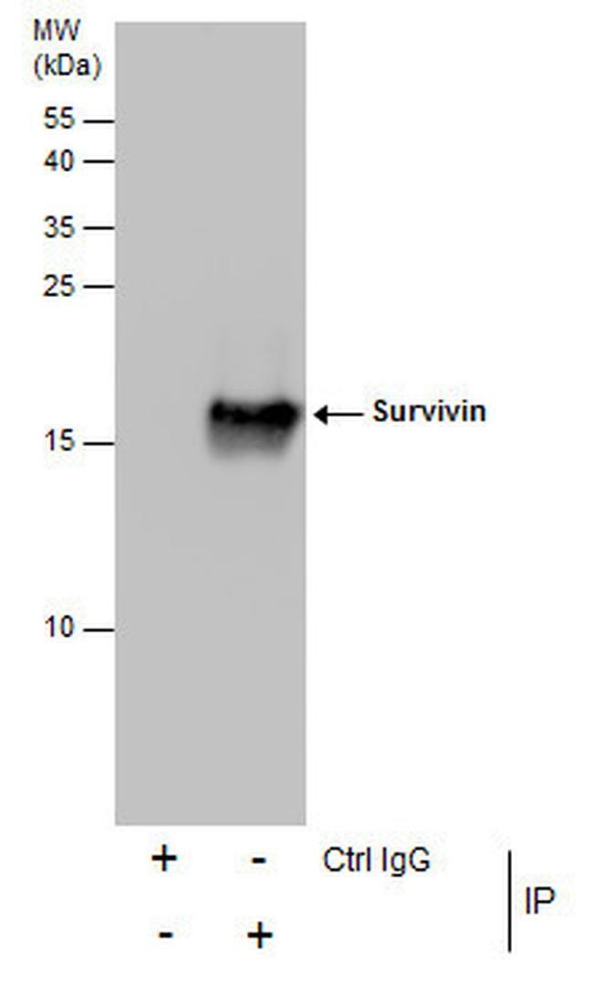 Survivin Antibody in Immunoprecipitation (IP)