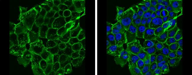 E-cadherin Antibody in Immunocytochemistry (ICC/IF)