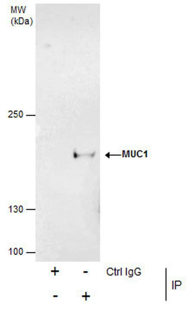MUC1 Antibody in Immunoprecipitation (IP)