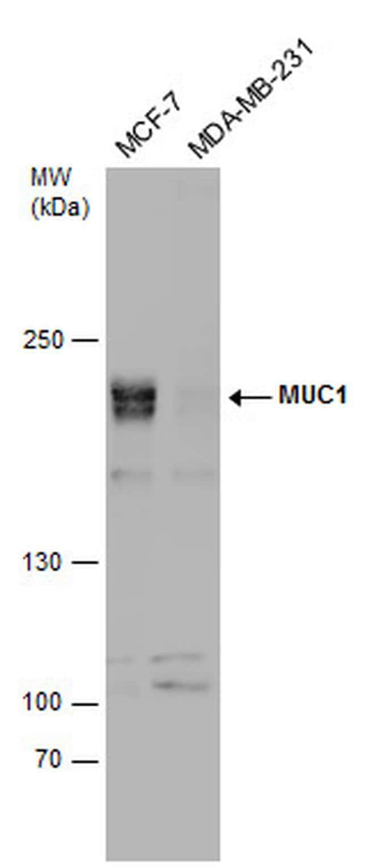 MUC1 Antibody in Western Blot (WB)