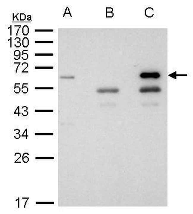 HDAC1 Antibody in Immunoprecipitation (IP)