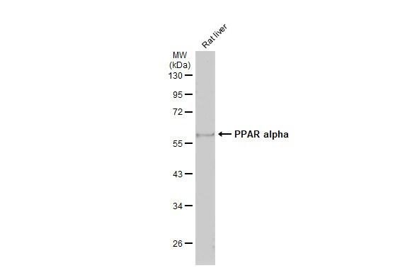 PPAR alpha Antibody in Western Blot (WB)
