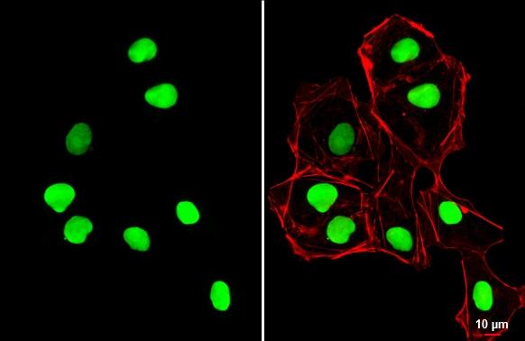 SOX2 Antibody in Immunocytochemistry (ICC/IF)
