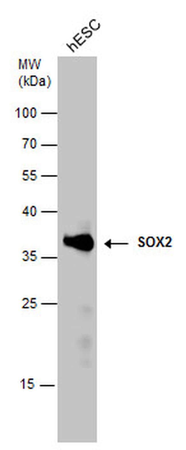 SOX2 Antibody in Western Blot (WB)
