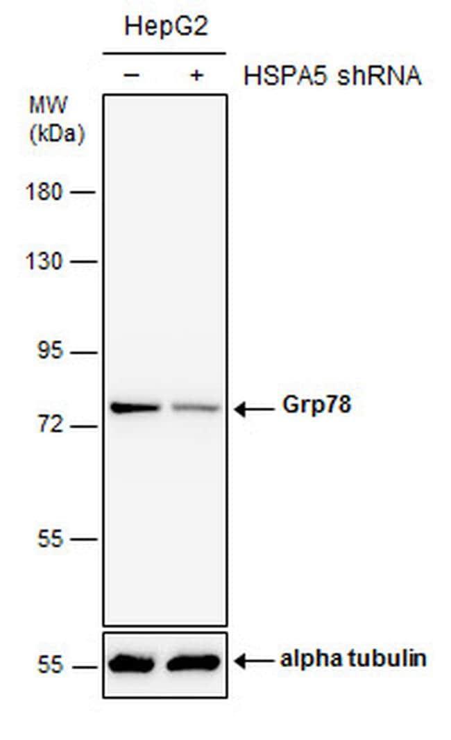 GRP78 Antibody in Western Blot (WB)