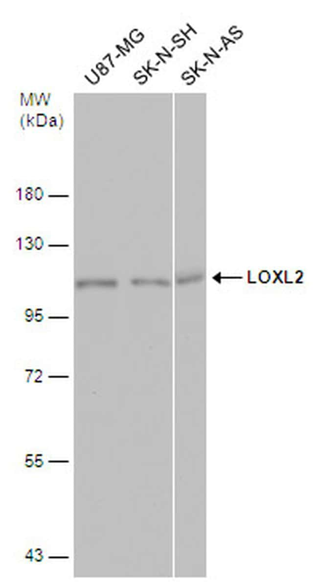 LOXL2 Antibody in Western Blot (WB)