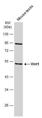 WNT1 Antibody in Western Blot (WB)