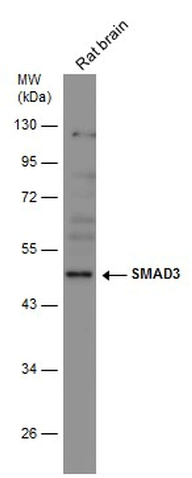 SMAD3 Antibody in Western Blot (WB)