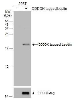 Leptin Antibody in Western Blot (WB)