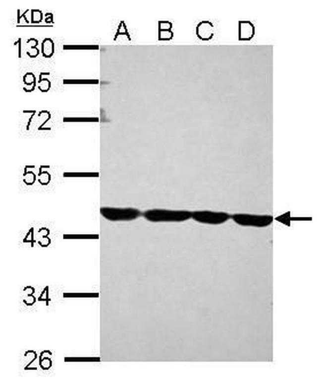 beta Actin Antibody in Western Blot (WB)