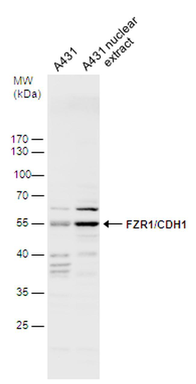 FZR1 Antibody in Western Blot (WB)