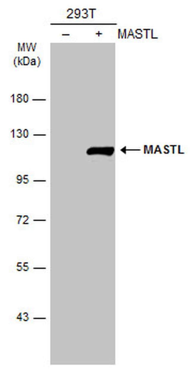 MASTL Antibody in Western Blot (WB)