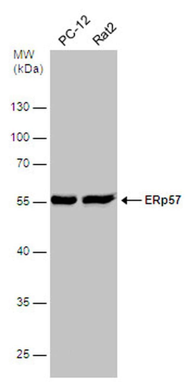 ERp57 Antibody in Western Blot (WB)