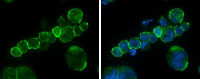 CD45 Antibody in Immunofluorescence (IF)