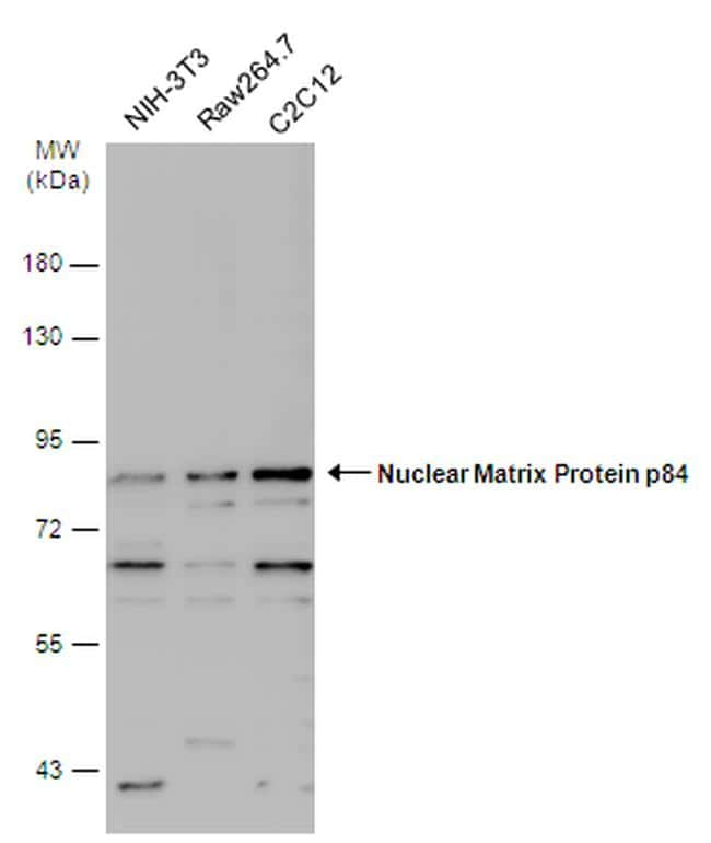 Nuclear Matrix Protein p84 Antibody in Western Blot (WB)