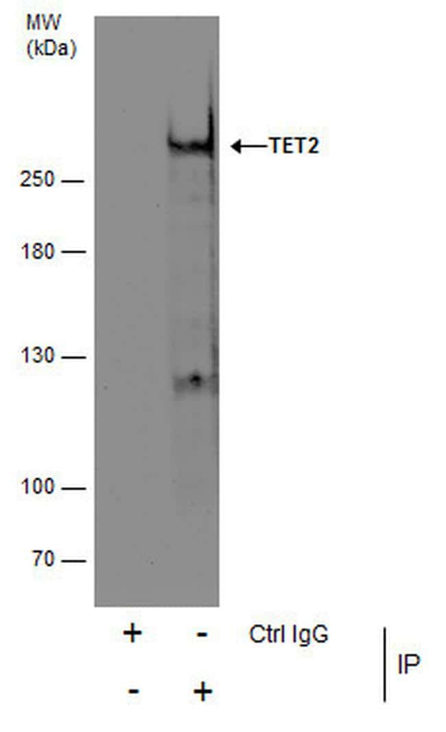 TET2 Antibody in Immunoprecipitation (IP)