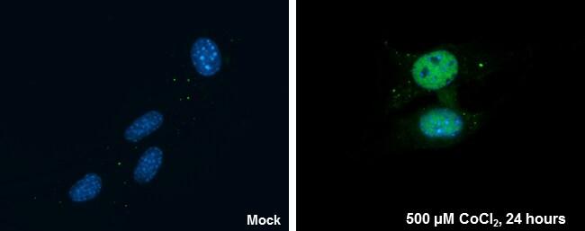 HIF1A Antibody in Immunofluorescence (IF)