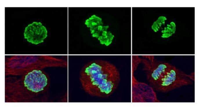 Phospho-Histone H3 (Ser10) Antibody in Immunofluorescence (IF)