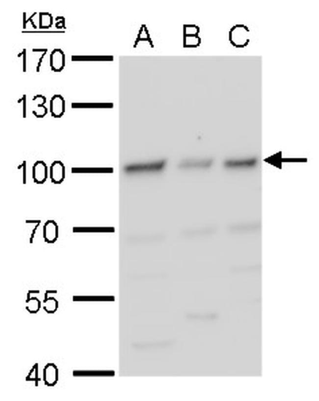 HIF-1 beta Antibody in Western Blot (WB)