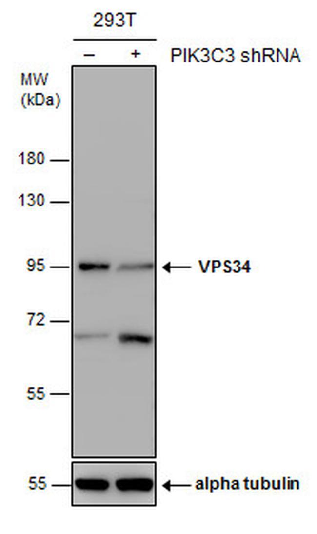 VPS34 Antibody in Western Blot (WB)