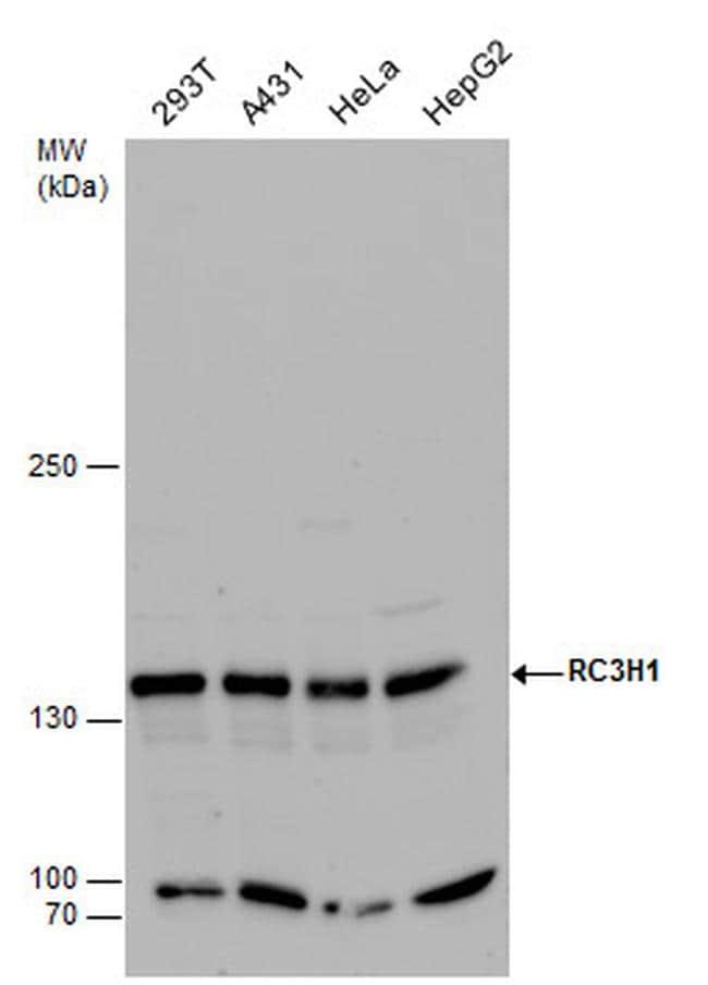 RC3H1 Antibody in Western Blot (WB)