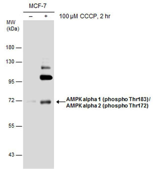 Phospho-AMPK alpha-1,2 (Thr172, Thr183) Antibody in Western Blot (WB)
