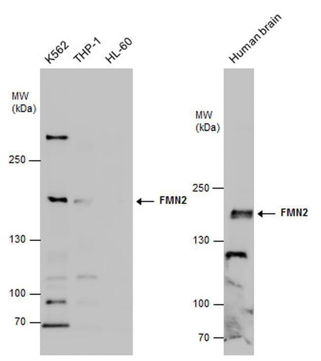 FMN2 Antibody in Western Blot (WB)