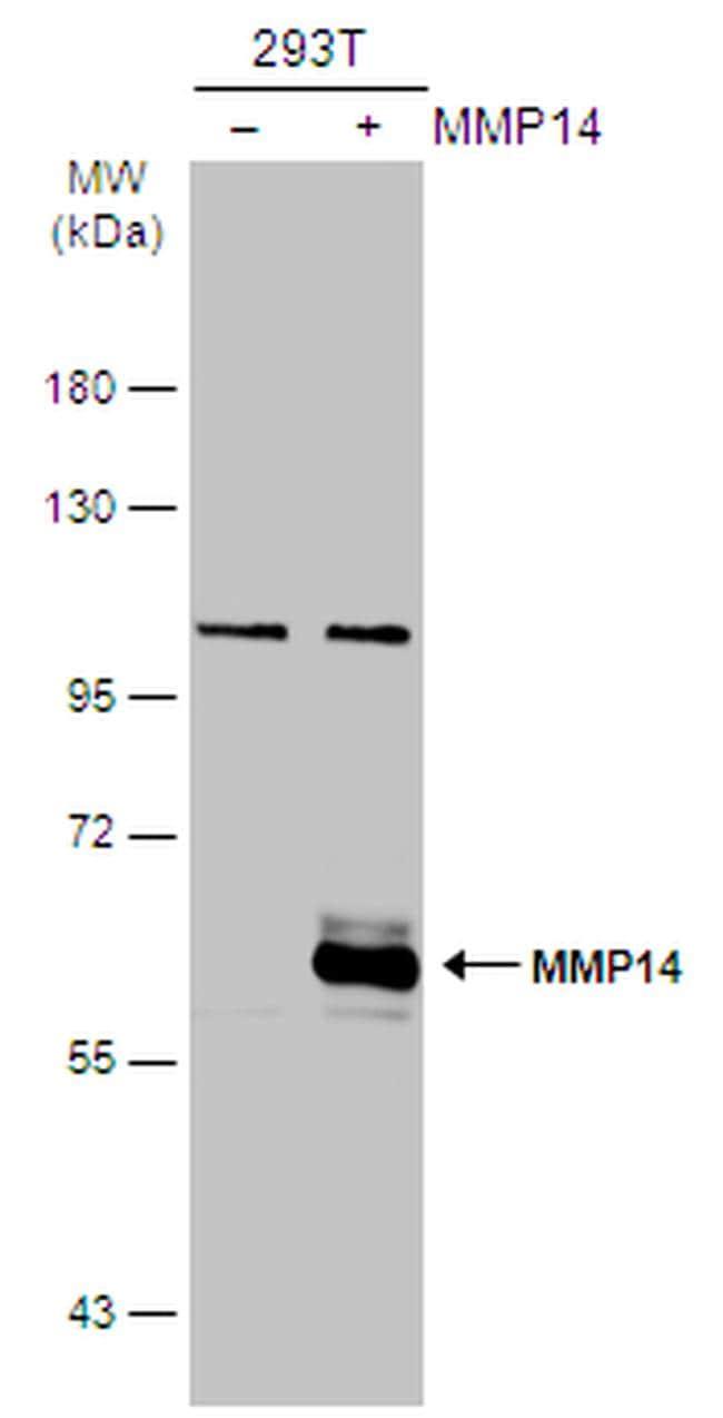MMP14 Antibody in Western Blot (WB)