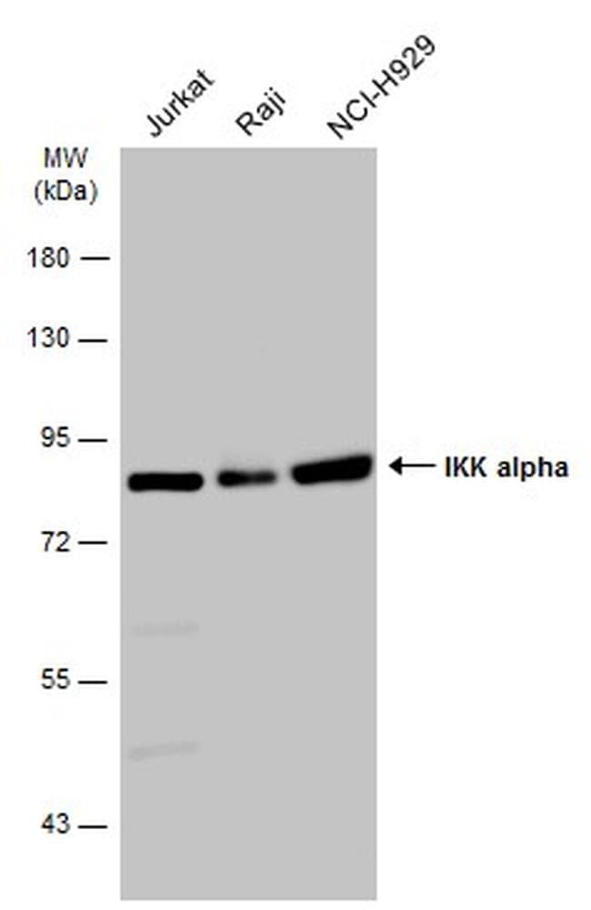 IKK alpha Antibody in Western Blot (WB)