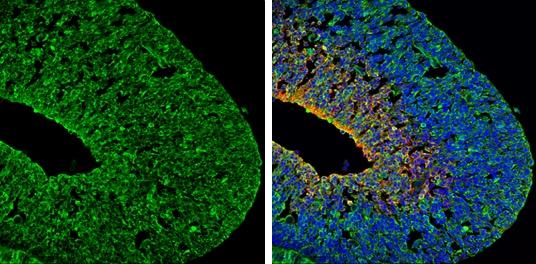 PSD-95 Antibody in Immunohistochemistry (Frozen) (IHC (F))